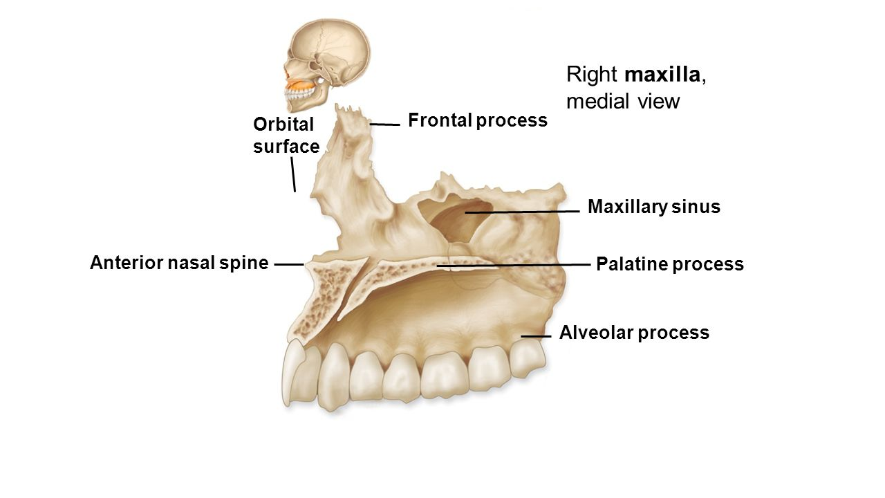 Fine Maxilla And Mandible Anatomy Image Collection - Physiology Of ...