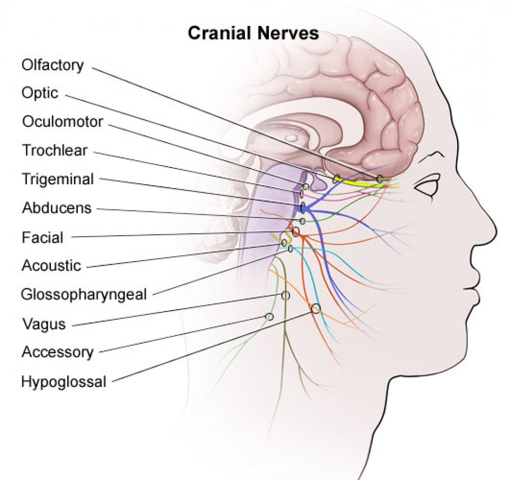 remembering cranial nerves cheat sheet by davidpol download free from cheatography. Black Bedroom Furniture Sets. Home Design Ideas