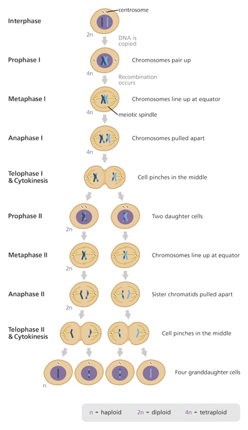 Meiosis cheat sheet by leahsnotes download free from cheatography how are mitosis and meiosis different ccuart Images