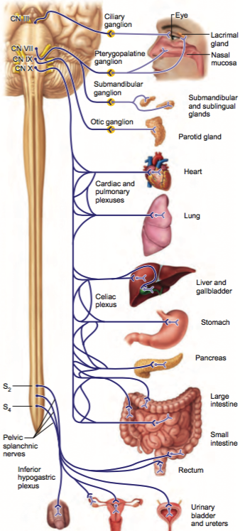 Autonomic Nervous System Cheat Sheet by tbrennan101 - Download free ...