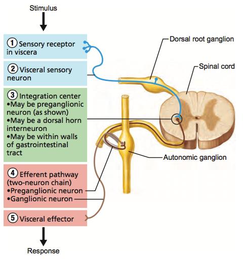 Autonomic nervous system cheat sheet by tbrennan101 download visceral reflex arc ccuart Gallery